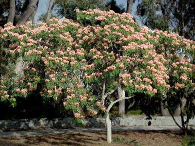 Silk Tree, Mimosa