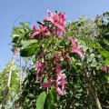 Orchid Tree, Butterfly Tree, Mountain Ebony, Geranium Tree, Purple Bauhinia