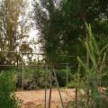 Conocarpus lancifolious