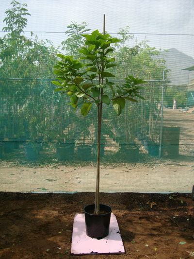 Orange Geiger Tree, Geranium Tree, Anaconda, Scarlet Cordia
