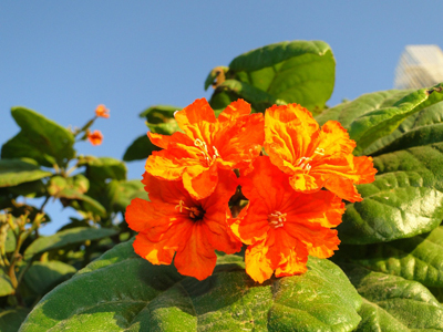 Orange Geiger Tree, Geranium Tree, Anaconda, Scarlet Cordia