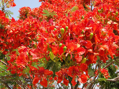 Royal Poinciana, Flamboyant Tree, Flame Tree, Peacock Flower, Gulmohar