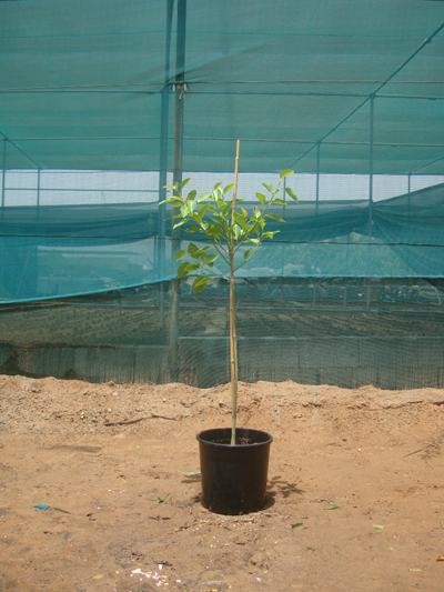 False Banyan, Council Tree, Lofty Fig