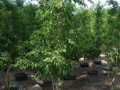 Ficus benjamina, Weeping Fig, Miniature Ficus