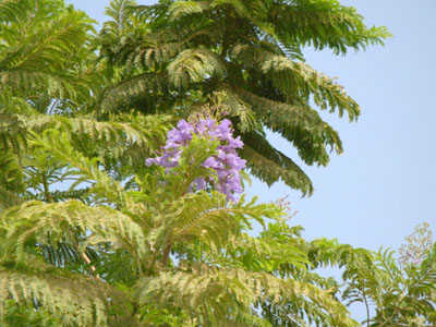 Jacaranda mimosifolia, Brazilian Rose Wood, Green Ebony