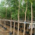 Millingtonia hortensis