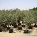 Olea europea, Olive