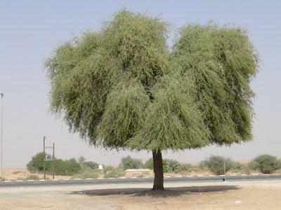 Prosopis cineraria, Khejri, Jandi, Ghaf