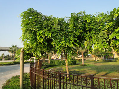 Pongamia glabra , Pongam, Karum Tree, Poonga-Oil Tree, Indian Beech