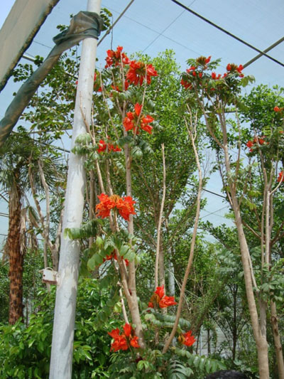 Spathodea campanulata, African Tulip Tree, Flame of The Forest, Fountain Tree, Firebell