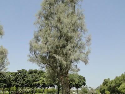 Tamarix aphylla, Tamarisk, Salt Cedar