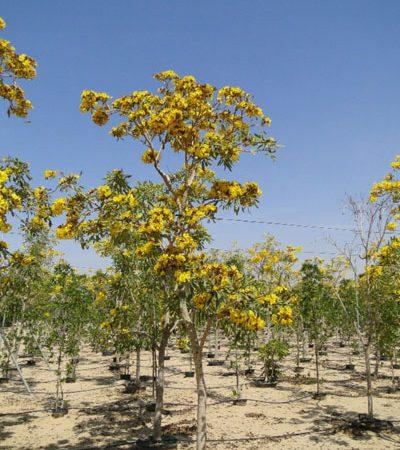 Tabebuia argentea, Caribbean Trumpet Tree, Yellow Tabebuia