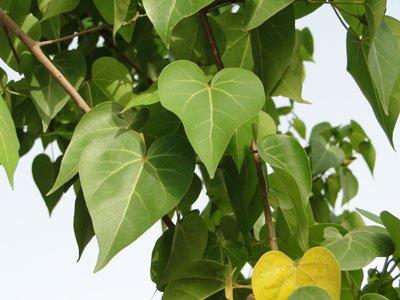 Thespesia populnea, Portia Tree