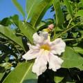 Tabebuia rosea, Apamate, Pink Poui, Pink Tecoma, Rosy Trumpet Tree