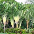 Traveller's Palm Ravenala Madagascariensis