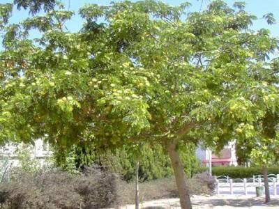 Womans Tongue, Siris Tree