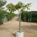 Banyan Tree, Ban Yan