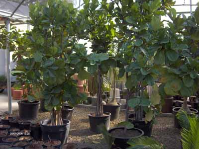 Ficus lyrata, Banjo Fig, Fiddle-leaf Fig