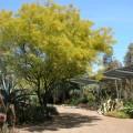 Jerusalem Thorn, Mexican Palo Verde , Parkinsonia aculeata