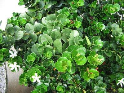 Carissa grandiflora Boxwood Beauty (Compact Natal Plum)
