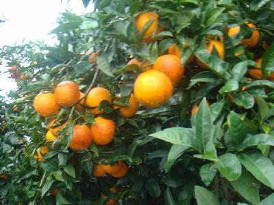Citrus sinensis (Blood Orange)