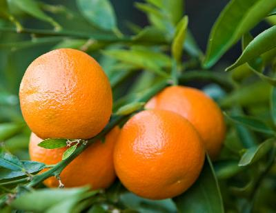 Citrus reticulata (Mandarin)