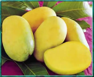 Mangifera indica (Mango)