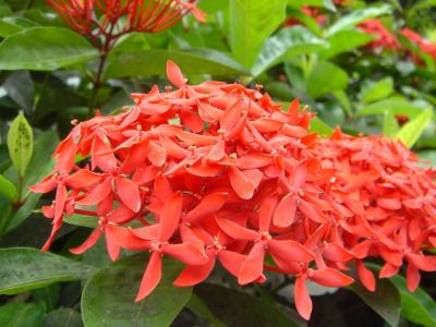 Ixora chinensis Red (Chinese Ixora)