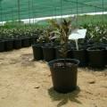 Pseuderanthemum atropurpureum_1