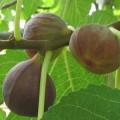 Ficus carica (Fig)
