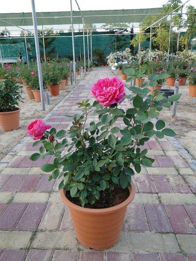 Rosa Spp. (Rose)