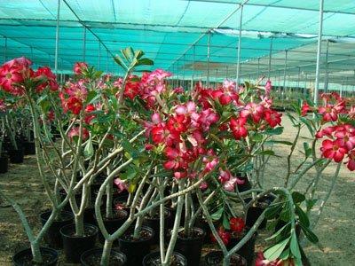 Adenium obesum (Desert Rose, Impala Lily)