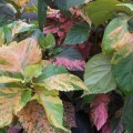 Acalypha wilkesiana (Copper Leaf, Jacobs Coat)
