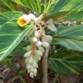 Alpinia zerumbet (Ginger Lily, Shell Ginger)