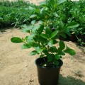 Clerodendrum inerme (Wild Jasmine)