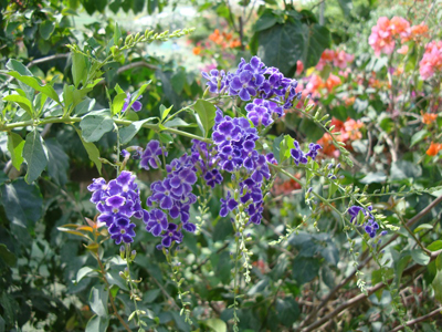 Duranta erecta (Golden Dew Drop, Sky Flower, Pigeon Berry)