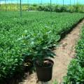 Ficus microcarpa Green Island (Chinese Banyan)