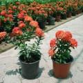Ixora chinensis Red (Chinese Ixora)
