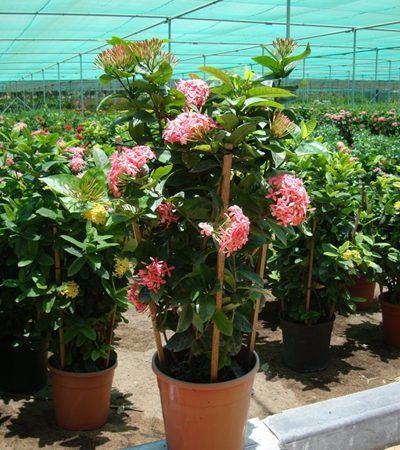 Ixora coccinea Pink (Flame of the Woods, Jungle Flame, Jungle Geranium)