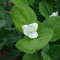 Jasminum sambac (Sacred Jasmine, Asian Jasmine, Asiatic Jasmine, Pikake)