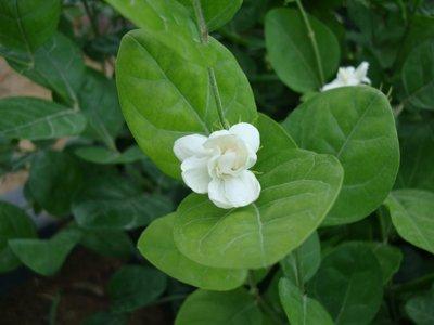 Jasminum Sambac Sacred Jasmine Asian Jasmine Asiatic Jasmine