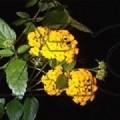 Lantana nana Yellow (Lantana)