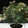 Nerium oleander Petite Pink (Oleander)