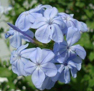Plumbago auriculata Blue (Plumbago, Cape Leadwort)