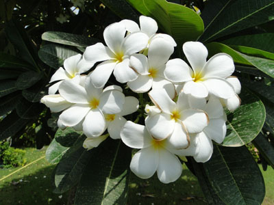 Plumeria obtusa (Frangipani, Plumeria)