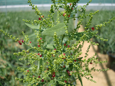 Salvadora persica (Toothbrush Tree, Miswak)