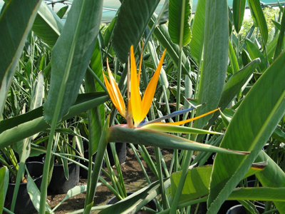 Strelitzia reginae (Bird of Paradise, Crane Flower)