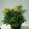Tecomaria capensis Yellow_1