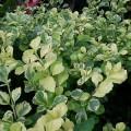 Duranta repens (Golden Dew Drop, Sky Flower, Pigeon Berry)