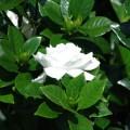 Gardenia jasminoides (Gardenia, Cape Jasmine, Gandharaj)